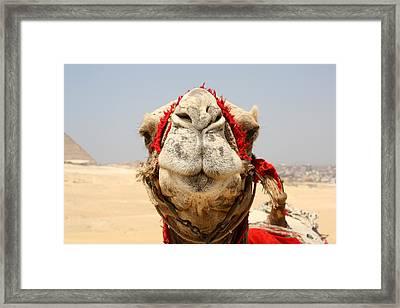 Camel Kiss Framed Print
