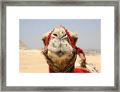 Camel Kiss Framed Print by Laura Hiesinger