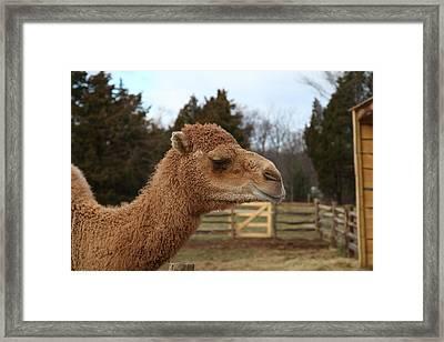 Camel - Mt Vernon - 01131 Framed Print