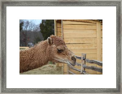 Camel - Mt Vernon - 01132 Framed Print by DC Photographer
