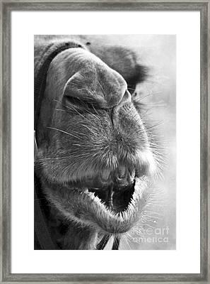 Camel Portrait Framed Print by Heiko Koehrer-Wagner
