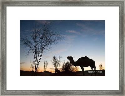 Camel Sunset Framed Print by Delphimages Photo Creations