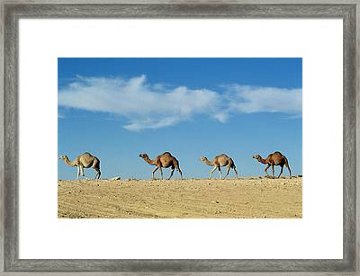 Camel Train Framed Print by Anonymous