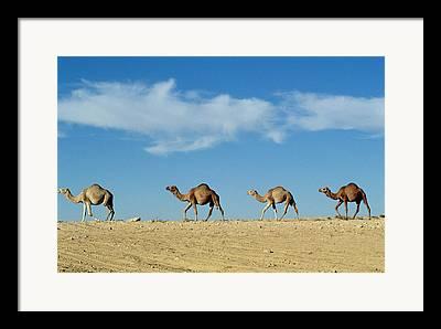 Camel Photographs Framed Prints