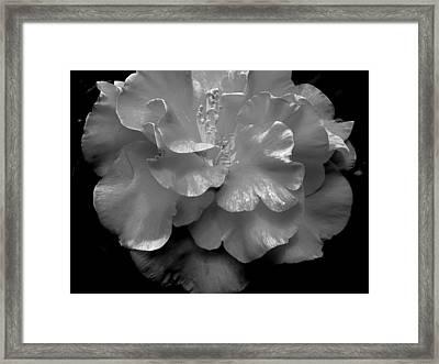 Camelia Framed Print by Charlotte Schafer