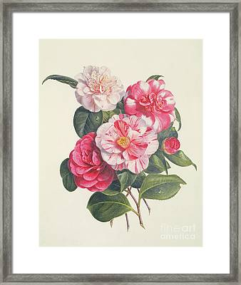 Camelias Framed Print by Augusta Innes Withers