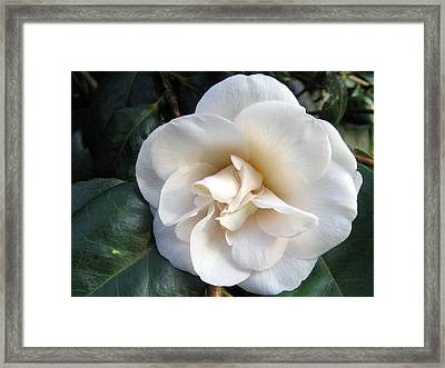 Camellia 2 Framed Print