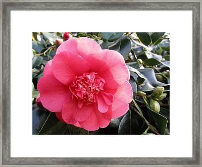 Camellia 3 Framed Print