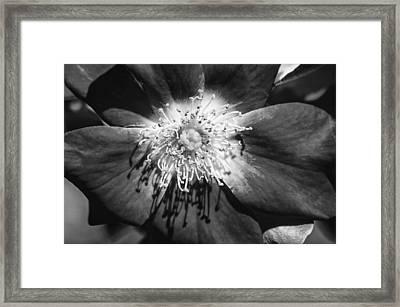 Camellia Bw Framed Print by Carolyn Marshall