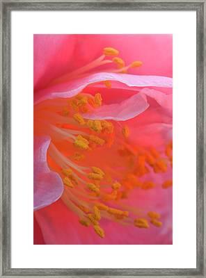 Camellia Flower Close-up Framed Print