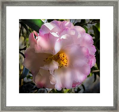 Camellia Granthamiana II Framed Print