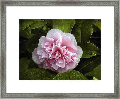 Camellia In Rain Framed Print by Patrick Morgan