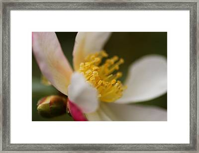 Camellia Framed Print by Jacqui Collett