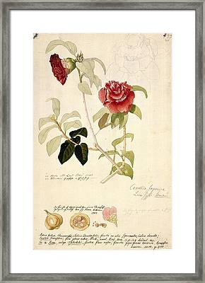 Camellia Japonica, 18th Century Artwork Framed Print by Science Photo Library