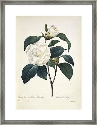 Camellia Japonica, 19th Century Framed Print by Science Photo Library