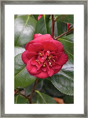 Camellia Japonica 'dobreei' Framed Print by Geoff Kidd