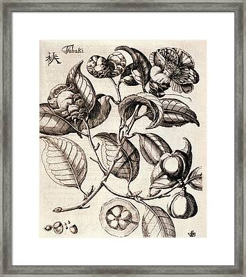 Camellia Japonica Flowers Framed Print by Natural History Museum, London
