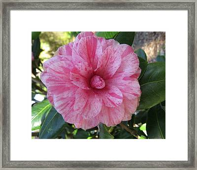 Camellia Japonica II Framed Print by Zina Stromberg