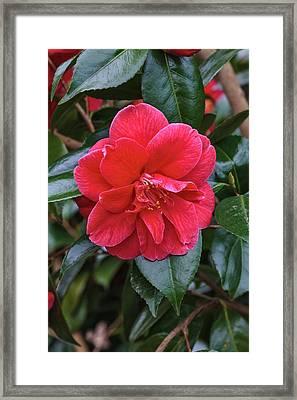 Camellia Japonica 'mercury' Framed Print by Geoff Kidd