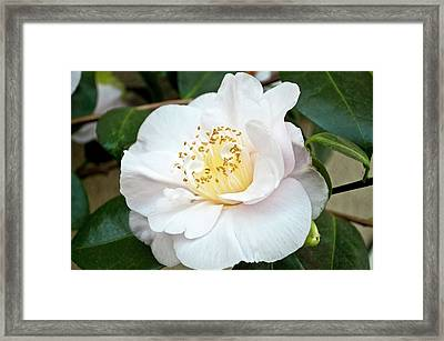 Camellia Japonica 'mrs D. W. Davis' Framed Print by Bjanka Kadic