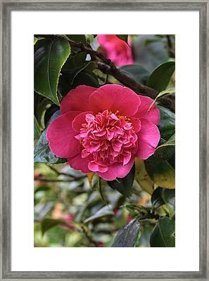 Camellia Japonica Mrs Swan Framed Print by Geoff Kidd