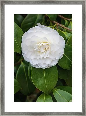 Camellia Japonica 'primavera' Framed Print by Geoff Kidd