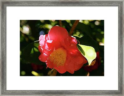 Camellia Japonica 'r L Wheeler' Flower Framed Print by Adrian Thomas