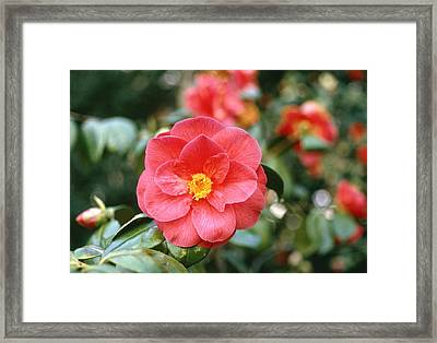Camellia Japonica Framed Print by Science Photo Library