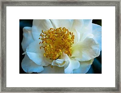 Camellia Framed Print