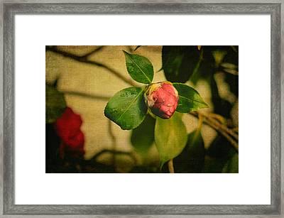 Camellia Framed Print by Marco Oliveira