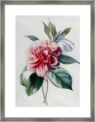 Camellia Framed Print by Marie-Anne