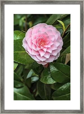Camellia Rusticana 'otome' Framed Print by Geoff Kidd
