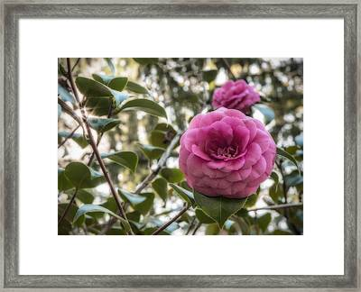 Camellia Sparkle Framed Print by Loree Johnson