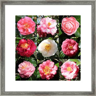 Camellia Time Collage Framed Print by Carol Groenen