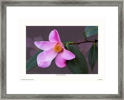 Camellia 'tulip Time' Framed Print by Saxon Holt