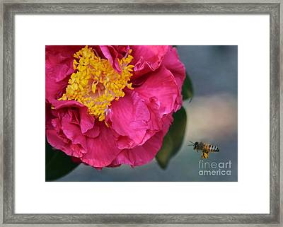 Camellia With Bee Framed Print by Carol Groenen