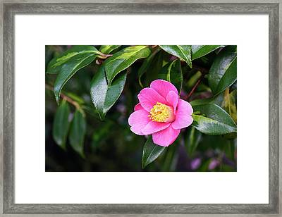 Camellia X Williamsii 'golden Spangles' Framed Print by Geoff Kidd/science Photo Library