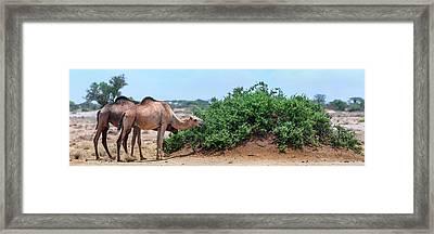 Camels Eating Salt Cedar Framed Print by Babak Tafreshi