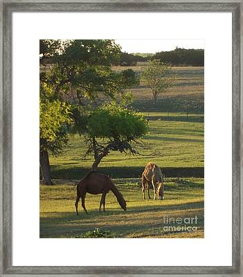Camels Grazing Framed Print by Susan Williams