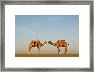 Camels Stand Face To Face In The Thar Framed Print