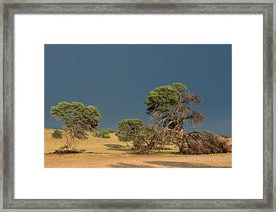 Camelthorn Trees In The Auob Riverbed Framed Print