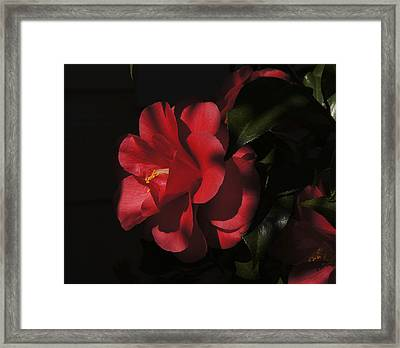 Framed Print featuring the photograph Camillia by Debra Crank