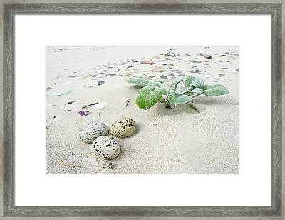 Camouflaged Caspian Tern Nest Framed Print by Peter Chadwick