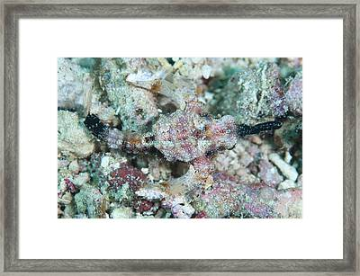 Camouflaged Pegasus Sea Moth Framed Print by Scubazoo