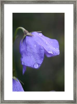 Campanula After The Rain Framed Print by Mark Severn