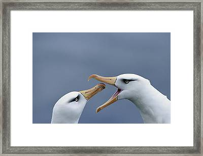 Campbell Albatross Courtship  Campbell Framed Print by Tui De Roy