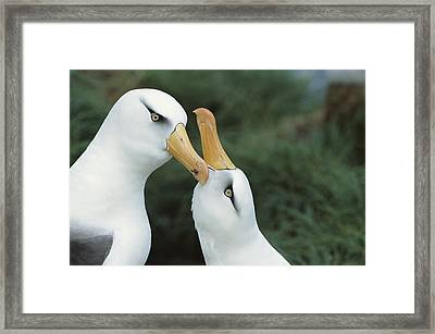 Campbell Albatrosses Courting Campbell Framed Print by Tui De Roy