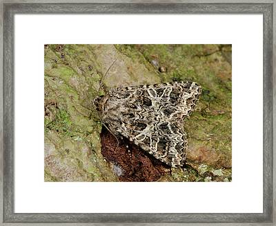 Campion Moth Framed Print
