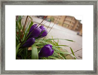 Framed Print featuring the photograph Campus Crocus by Erin Kohlenberg