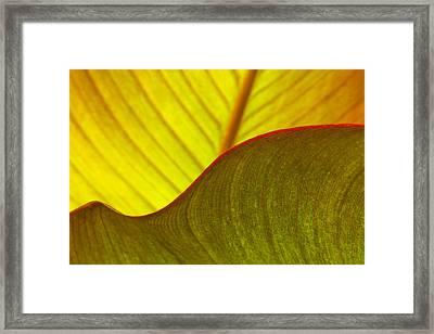 Canna Lily Leaf Curves Framed Print